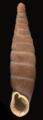 Bulgarica denticulata shell.png