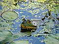 Bullfrog (Rana catesbeiana).jpg