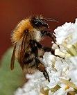 Cerca de un abejorro