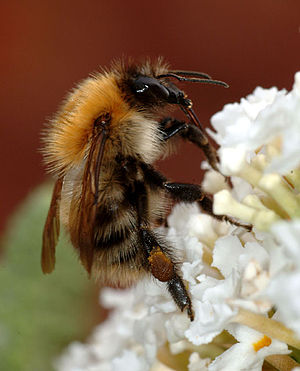 Bees and toxic chemicals - Bumblebee