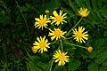 Buphthalmum salicifolium PID728-1.jpg