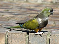 Burrowing Parrot RWD1.jpg