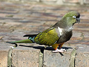 A green parrot with a black breast and a white eye-spot