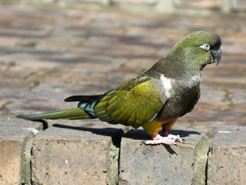 File:Burrowing Parrot RWD1.jpg