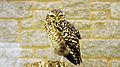 Burrowing owl (Athene cunicularia) (4).jpg