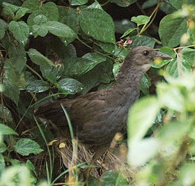Bush-hen LaceysCk apr08.JPG