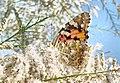 Butterfly-Hazar lake-Elazığ - panoramio.jpg