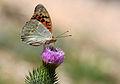 Butterfly Cardinal - Bahadır - Argynnis pandora.jpg