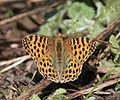 Butterfly Im IMG 7027.jpg