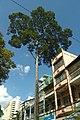 Cây Xanh - trên đường Ngô Gia Tự -q5-HCMVN - panoramio.jpg