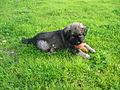 Cão da Serra da Estrela novo.jpg