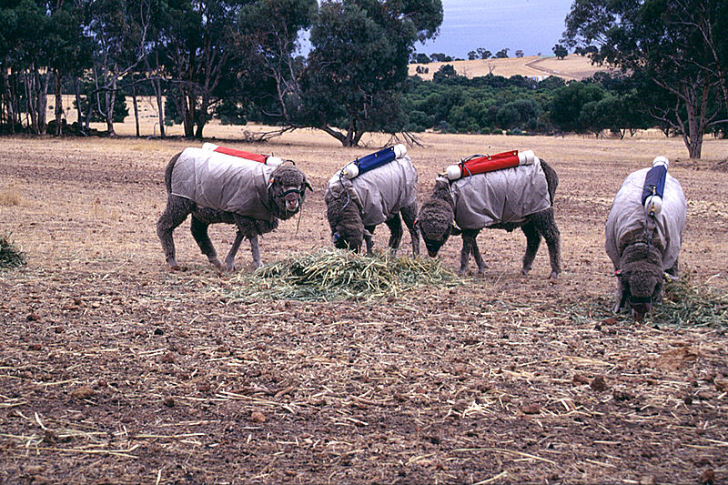 CSIRO ScienceImage 1898 Testing Sheep for Methane Production.jpg