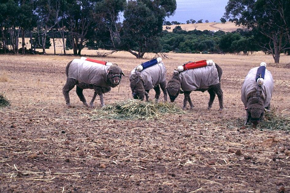 CSIRO ScienceImage 1898 Testing Sheep for Methane Production