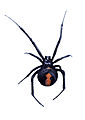 CSIRO ScienceImage 2186 A Red Back Spider.jpg