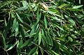 CSIRO ScienceImage 2275 Leaves of the Waria Waria Tree.jpg