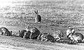 CSIRO ScienceImage 4376 The European rabbit IOryctolagus cuniculusI.jpg