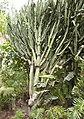 Cactaceae - Oasis Park botanical garden - Fuerteventura - 05.jpg