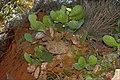 Cactus Red Cliffs of Scarborough-1+ (2518074526).jpg