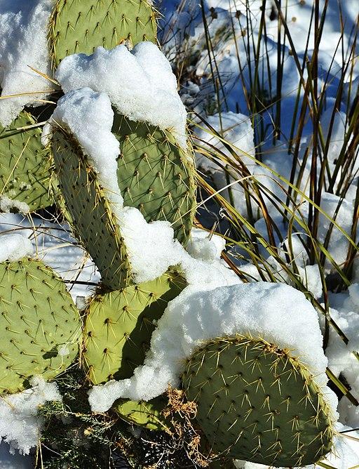 Cactus Snow - panoramio