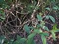 Cadaba fruticosa (11543439176).jpg