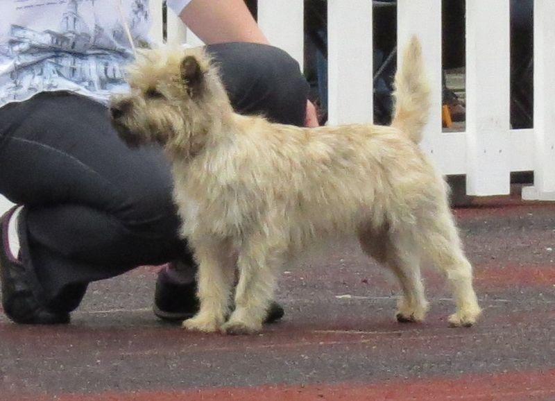 File:Cairn Terrier in Tallinn.JPG