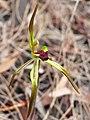Caladenia gladiolata (cropped).jpg