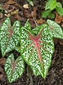 Caladium bicolor - Fancy-Leaf Caladium,Artist's pallet,Elephant's ear 3.jpg