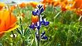California Poppies (33385126942).jpg