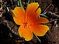 California Poppy 2016.jpg