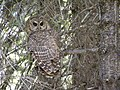 California Spotted Owl, Stanislaus National Forest (8427894580).jpg