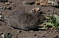 California Vole (Microtus californicus) cropped.jpg