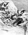 California murres on Murre Point, Carroll Island, June 1907 (WASTATE 1377).jpeg