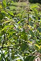 Callicarpa formosana 001.jpg