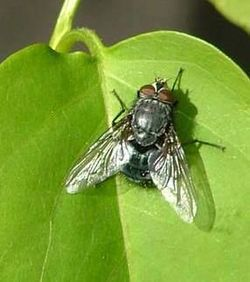 Spyflue (Calliphoridae, Diptera), en representant for Schizophora