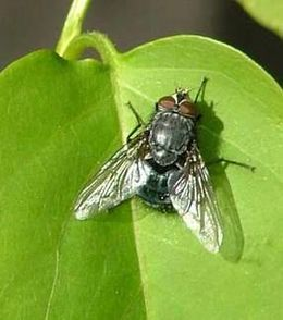Spyflue(Calliphoridae, Diptera)