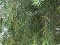 Callistemon citrinus (864058170).jpg