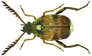 <i>Callosobruchus chinensis</i> Species of beetle