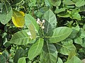 Calotropis gigantea - Crown Flower at Peravoor 2014 (13).jpg