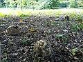 Calvatia gigantea in Dendrological Garden in Poznan (3).jpg