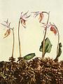 Calypso bulbosa var americana WFNY-043A.jpg