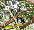 Calyptorhynchus lathami Glossy Black Cockatoo pair 01.jpg