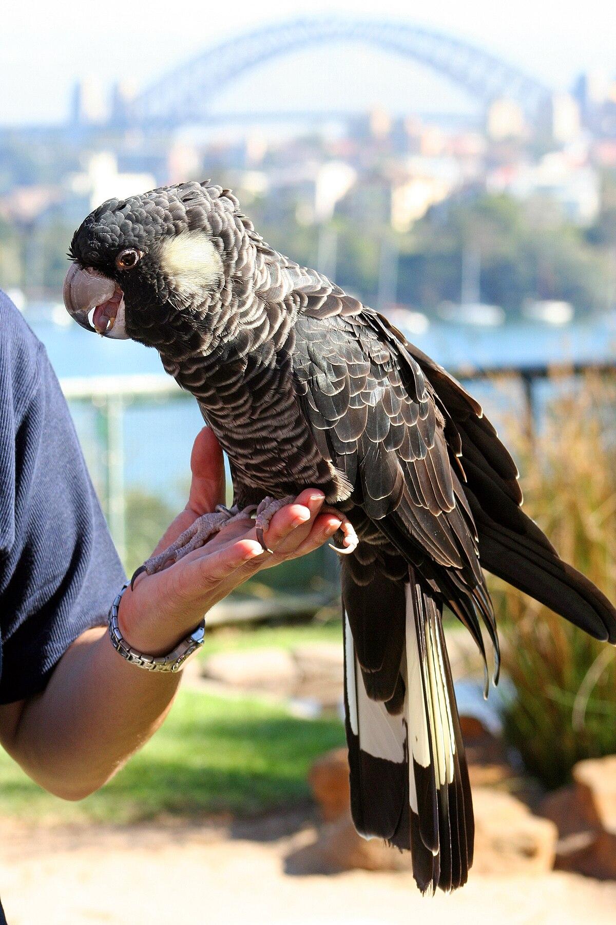 Carnaby's black cockatoo - Wikipedia