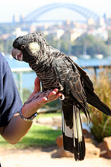 A mainly black cockatoo perched on a left hand on a sunny day. The cockatoo has a ring on its right leg. The Sydney Harbour Bridge is in the distance