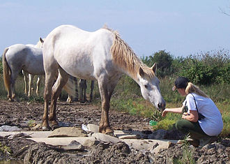 Semi-feral - A naturally approached Camargue horse in northeastern Italy