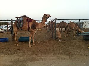 Agriculture in Qatar - A camel farm in Qatar.
