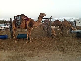 Agriculture in Qatar - A camel farm in Qatar.