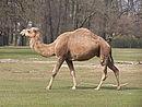 Camelus dromedarius at Tierpark Berlin (1).JPG