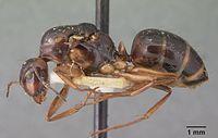 Camponotus christi ambustus casent0101546 profile 1.jpg