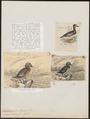 Camptolaimus cinereus - 1700-1880 - Print - Iconographia Zoologica - Special Collections University of Amsterdam - UBA01 IZ17700095.tif