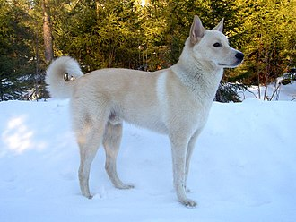 Canaan Dog - Image: Canaan Dog 3